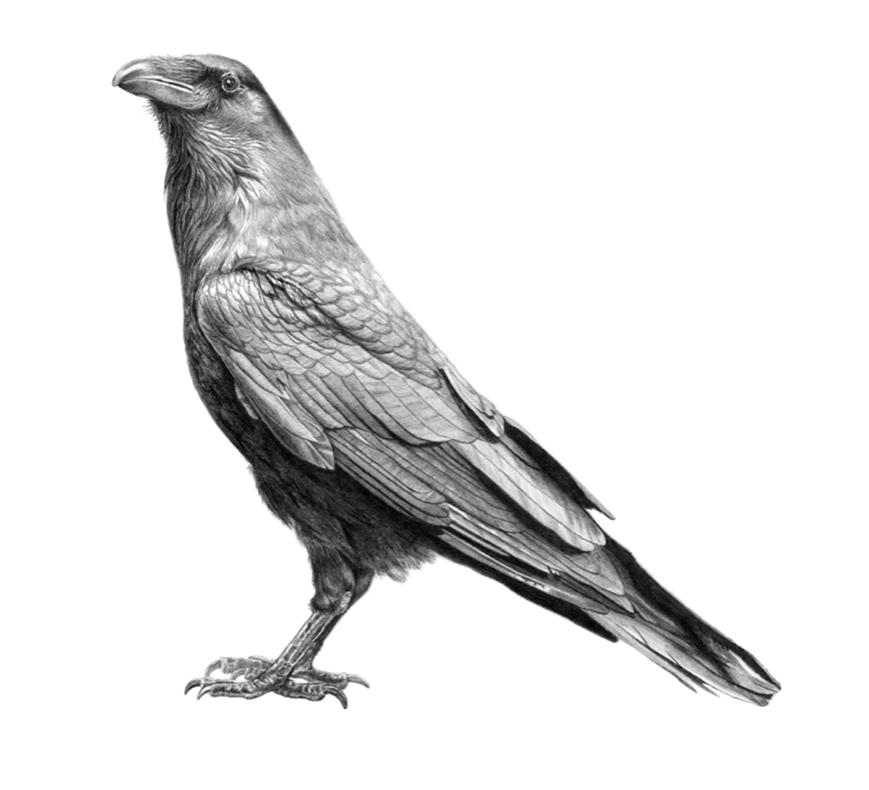 Black bird in pencil by Medy Oberendorff