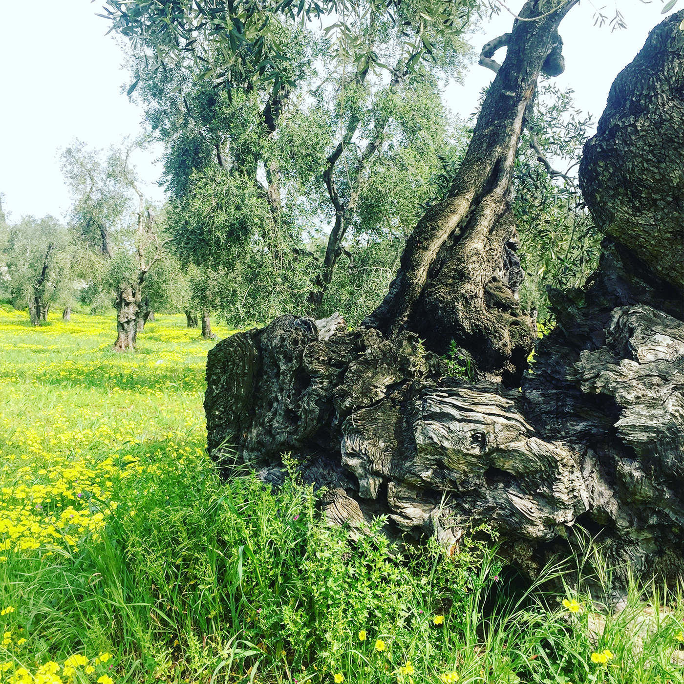 Big old olive trees in yellow flower beds, Vieste, Gargano